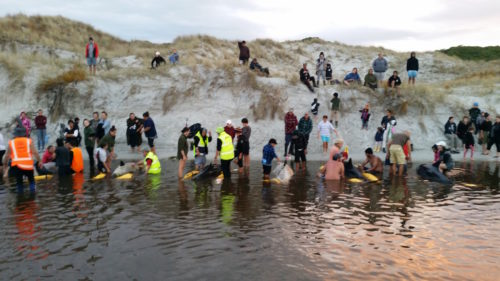 Workers try to refloat stranded whales.