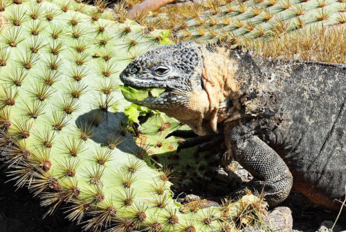 Galapagos Land Iguana feeding on cactus. South Plaza Island