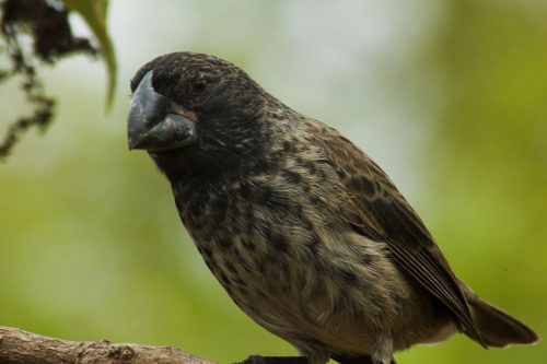 Galapagos Large ground finch