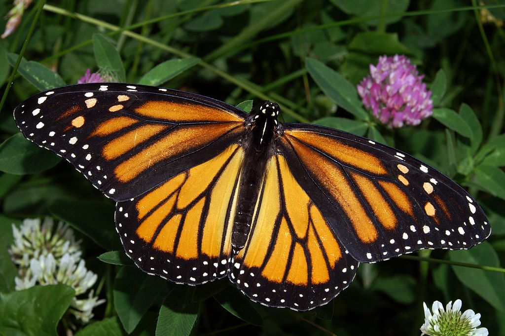 Female Monarch Butterfly In May