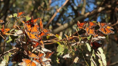 Monarchs make room on the branch of a eucalyptus tree in an overwintering site in Pismo Beach. U.S. Fish and Wildlife Service biologists in Ventura, Calif. participate in the annual Monarch Butterfly Thanksgiving Count to collect important data on coastal wintering monarch populations. Video by Lara Drizd/USFWS. December 19, 2016