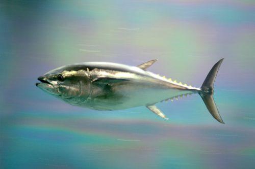 Pacific bluefin tuna at Kasai Rinkai Park, Tokyo, Japan