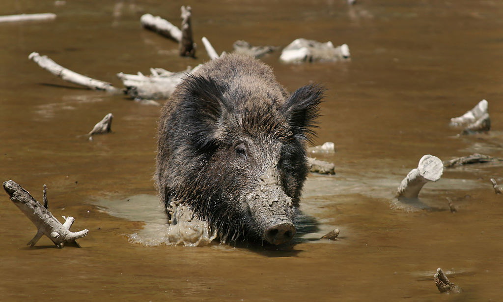 Wild Boar in a stream