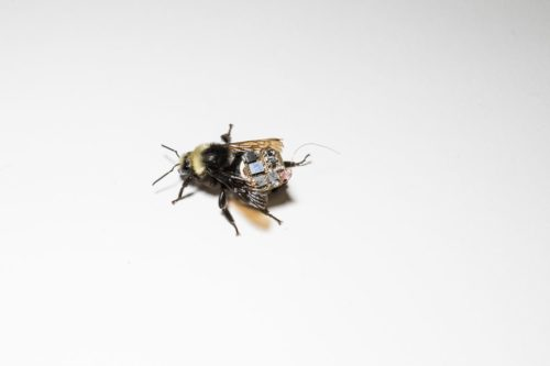 Bumblebee wearing a backpack on a plain white background.