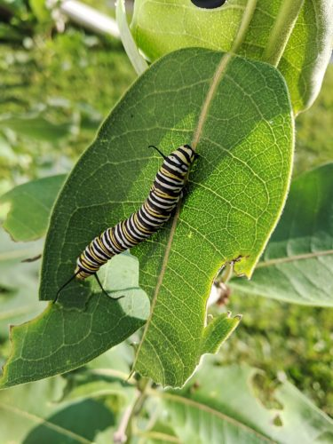 Monarch caterpillar on common milkweed