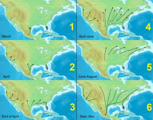 Map showing Monarch butterfly US migration in stages