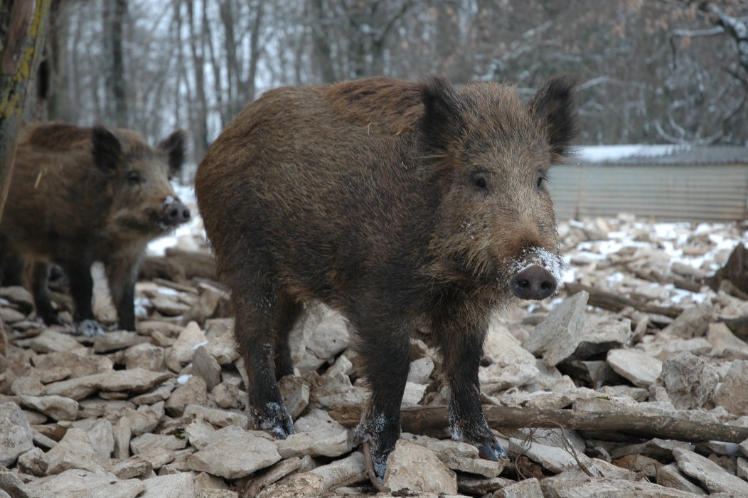 Two boars by a river.