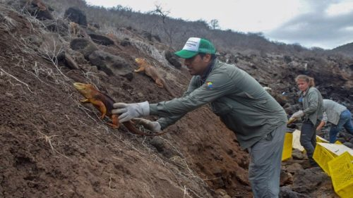 Galapagos National Park guards release land iguanas on Santiago Island