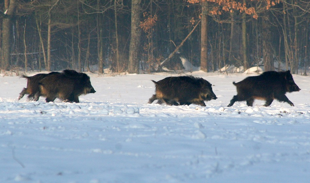Wild boar running across a snow-covered field in the winter
