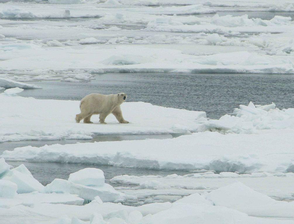 Ursus maritimus white polar bear male