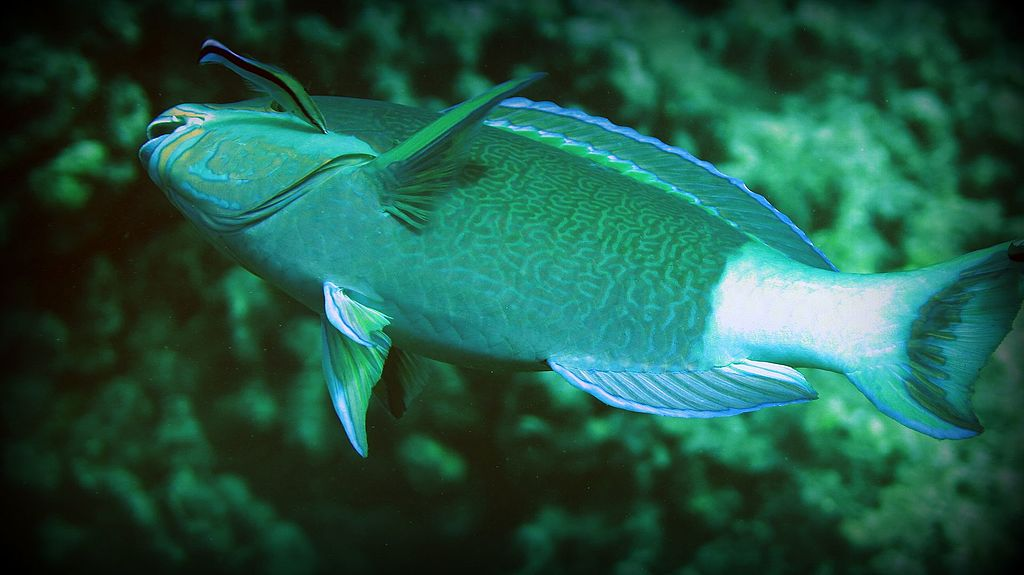 Cleaner wrasse parrot fish, Underwater images from the Lakshadweep atolls