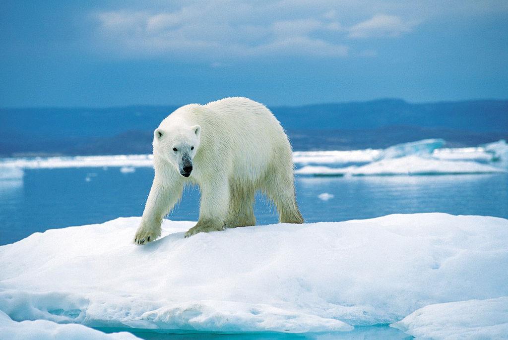 Polar bear on ice flow in Wager Bay (Ukkusiksalik National Park, Nunavut, Canada)