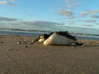Guillemot dead on the beach.