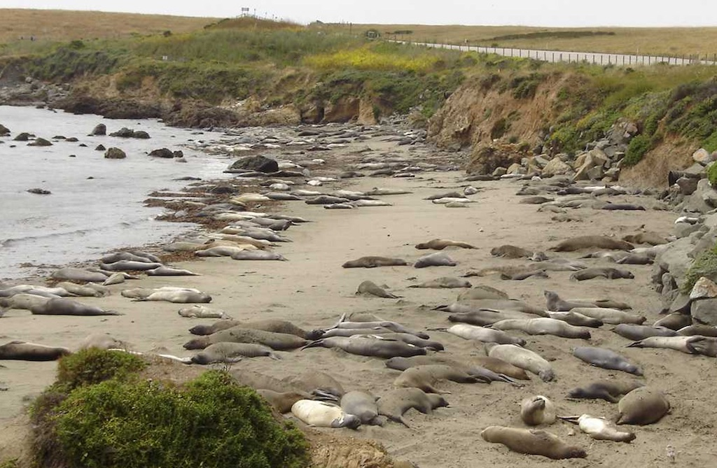 Big Sur elephant seal colony