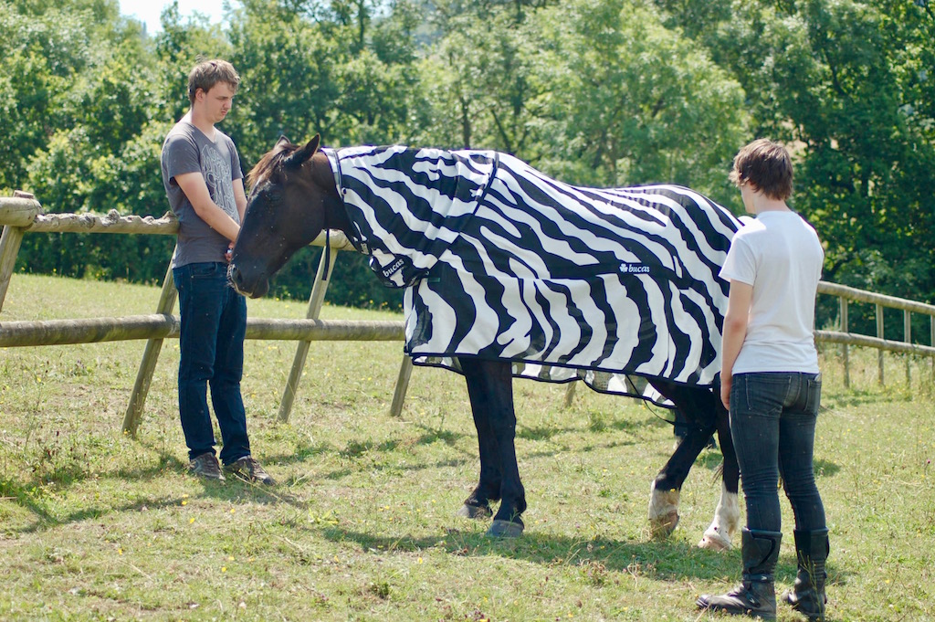 Joren Bruggink of Aeres University of Applied Sciences, at left, and Jai Lake of the University of Bristol investigate how horse flies behave around horses wearing different colored coats. This was part of an experiment led by the University of California, Davis, focused on why zebra stripes are so good at warding off biting flies.