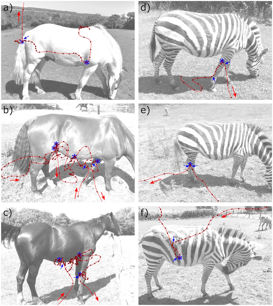 Examples of horsefly flight trajectories around domestic horses (a-c) and captive plains zebra (d-f).
