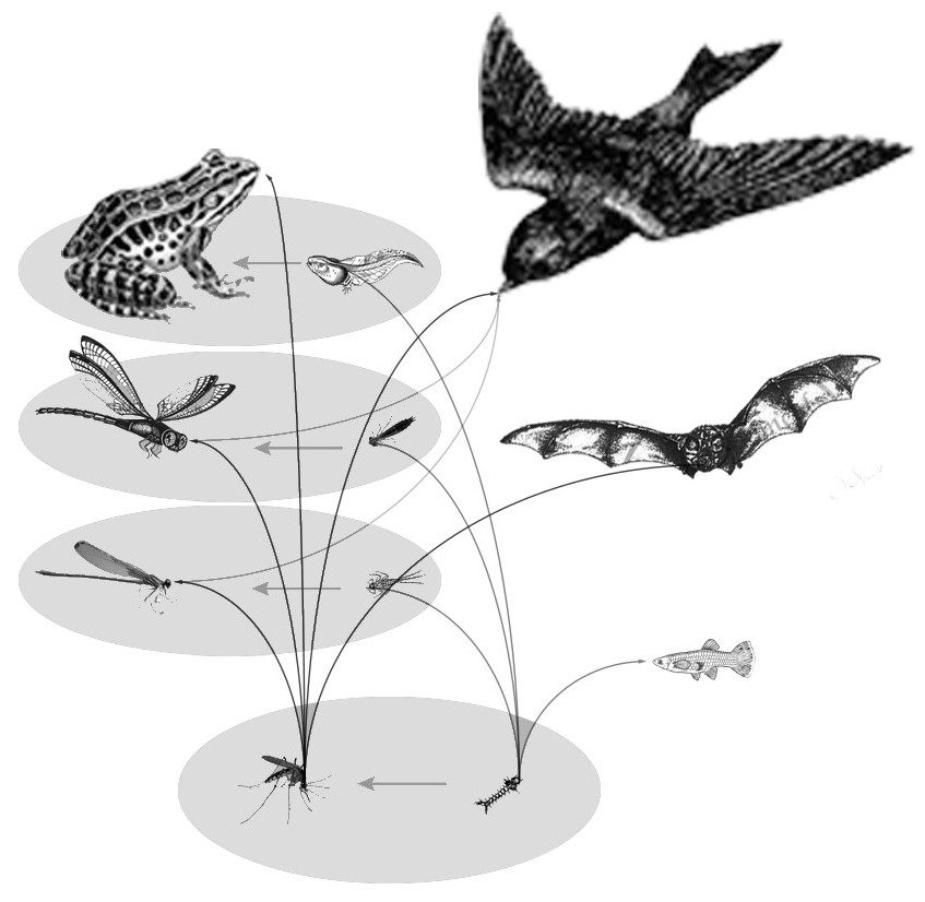 This diagram shows the relationship of the energy transferred in relation to mosquitos their predators and prey.