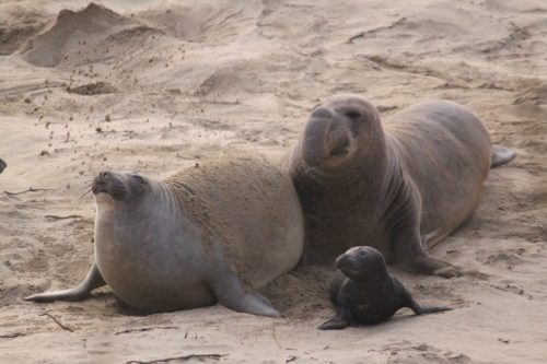 Northern Elephant Seal in Northern California. Male, female, and baby shown.