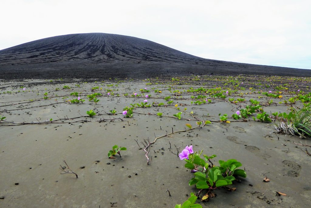 Beach morning glories growing in the mud from the volcano.