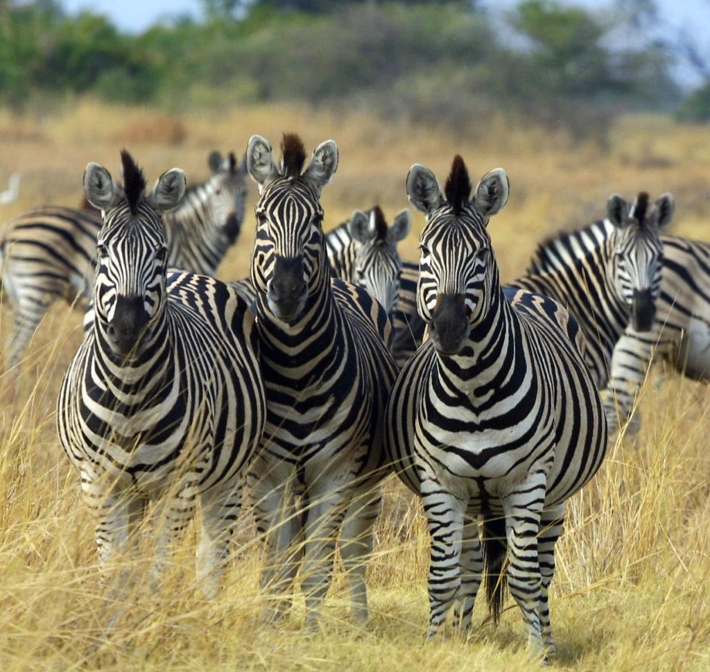 Plains Zebras (Equus quagga), more specifically the Chapman's subspecies (Equus quagga chapmani) in Okavango, Botswana in 2002.
