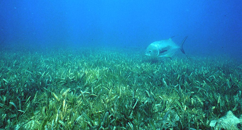 Healthy seagrass with a jack in the background