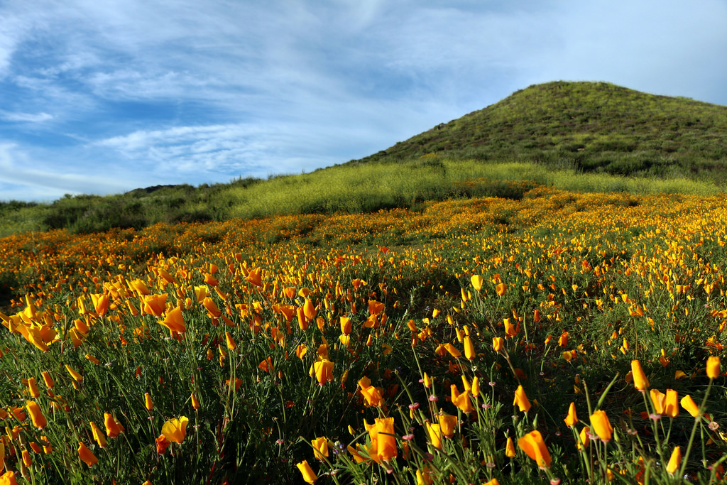 California poppies near Lake Elsinore, CA