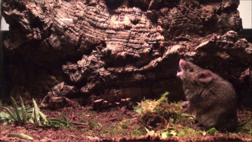 Male Alston's singing mouse (Scotinomys teguina) singing to female in estrus.