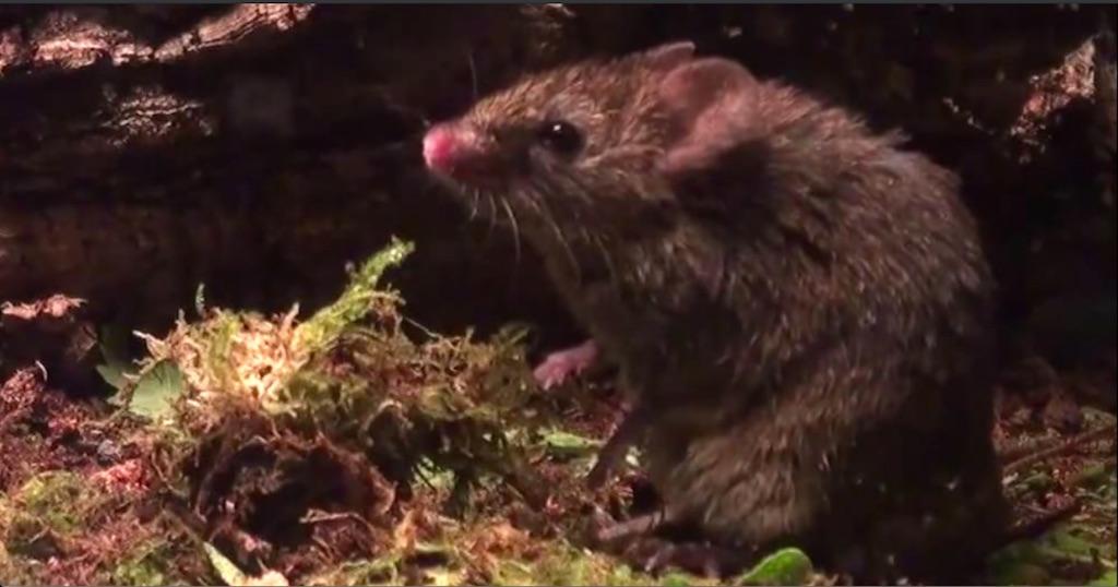 Male Alston's singing mouse (Scotinomys teguina) singing to female in estrus.