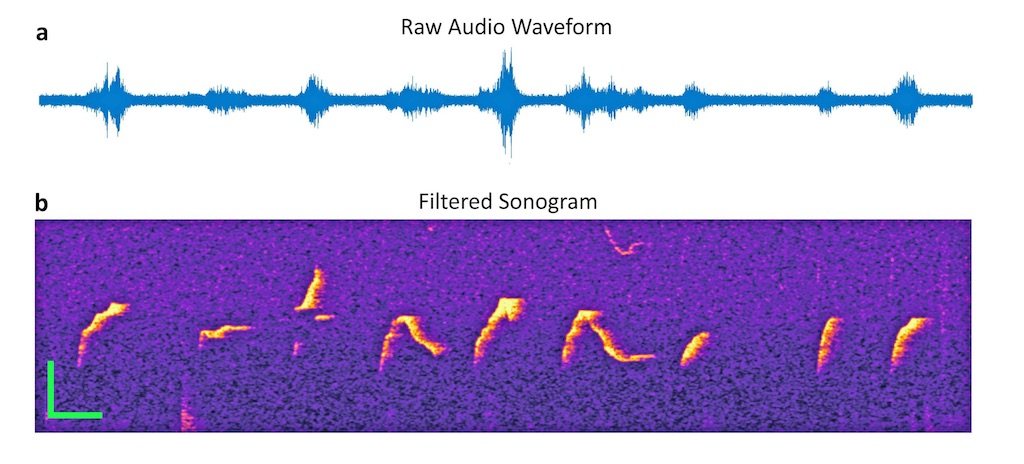 Audio waveform and filtered sonogram of mouse sounds.