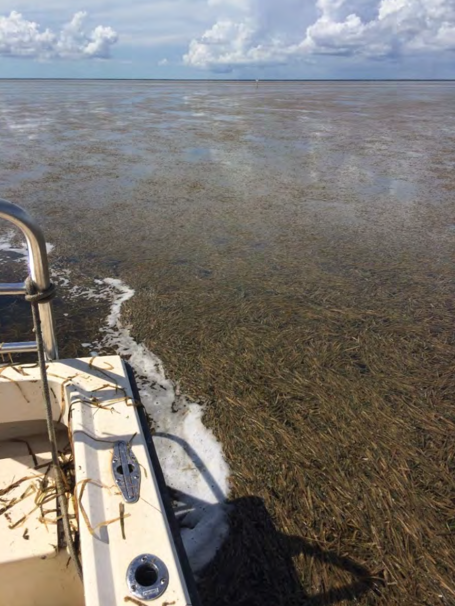 Rafts of dead seagrass in Florida Bay. 2015