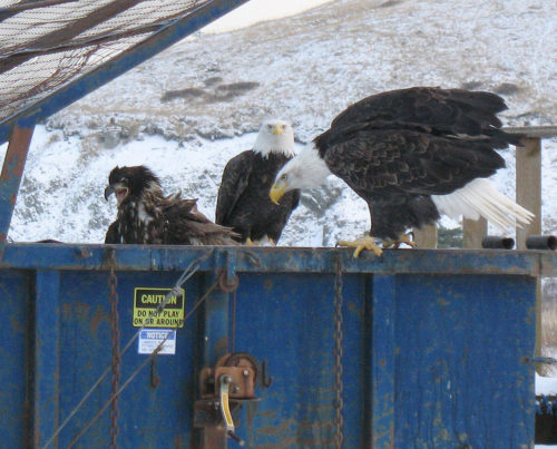 dumpster eagles