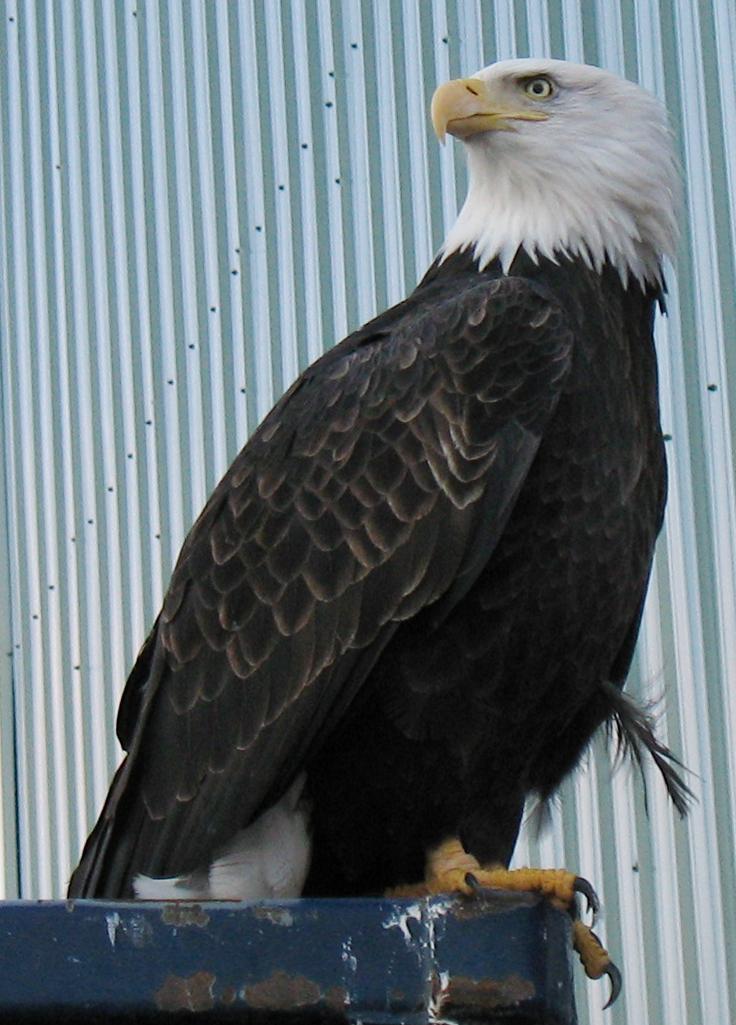 Eagle on dumpster