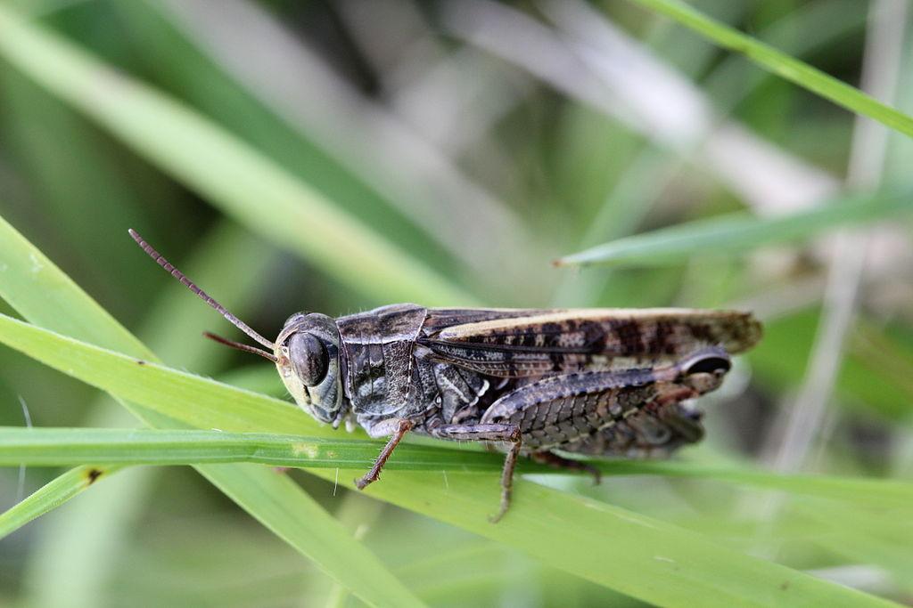 Italian Locust - Calliptamus italicus in Chancy, Geneva, Switzerland.