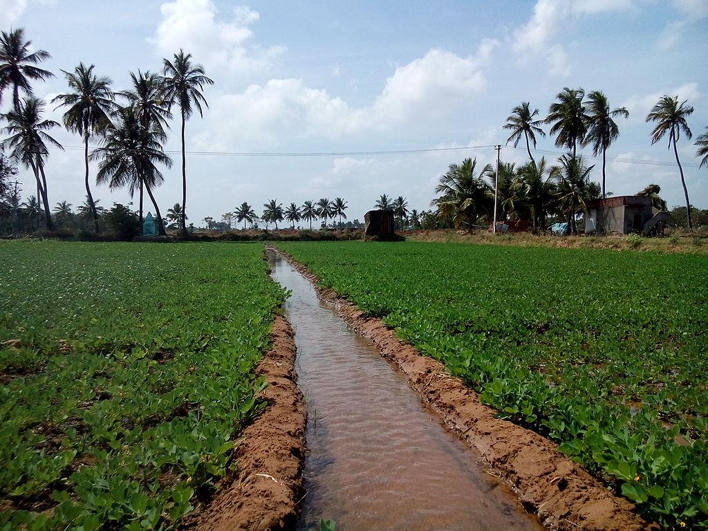 peanuts ditch irrigation