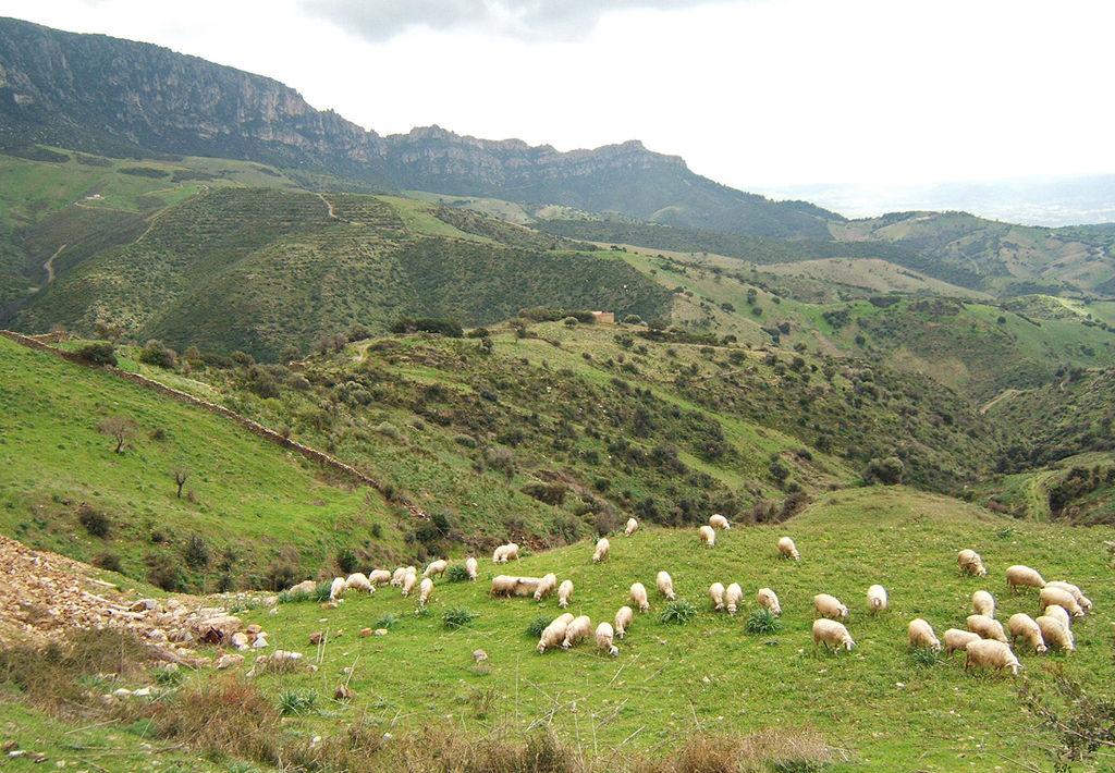 Sheep near Lula, Province of Nuoro, Sardinia, Italy