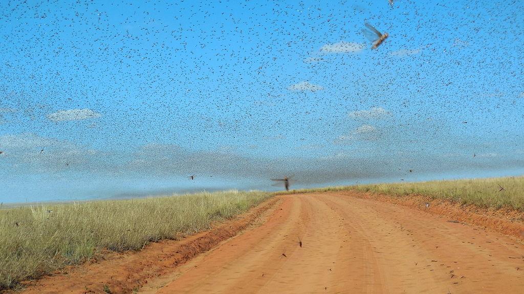 Swarm of locusts near Satrokala, Madagascar (May 2014)