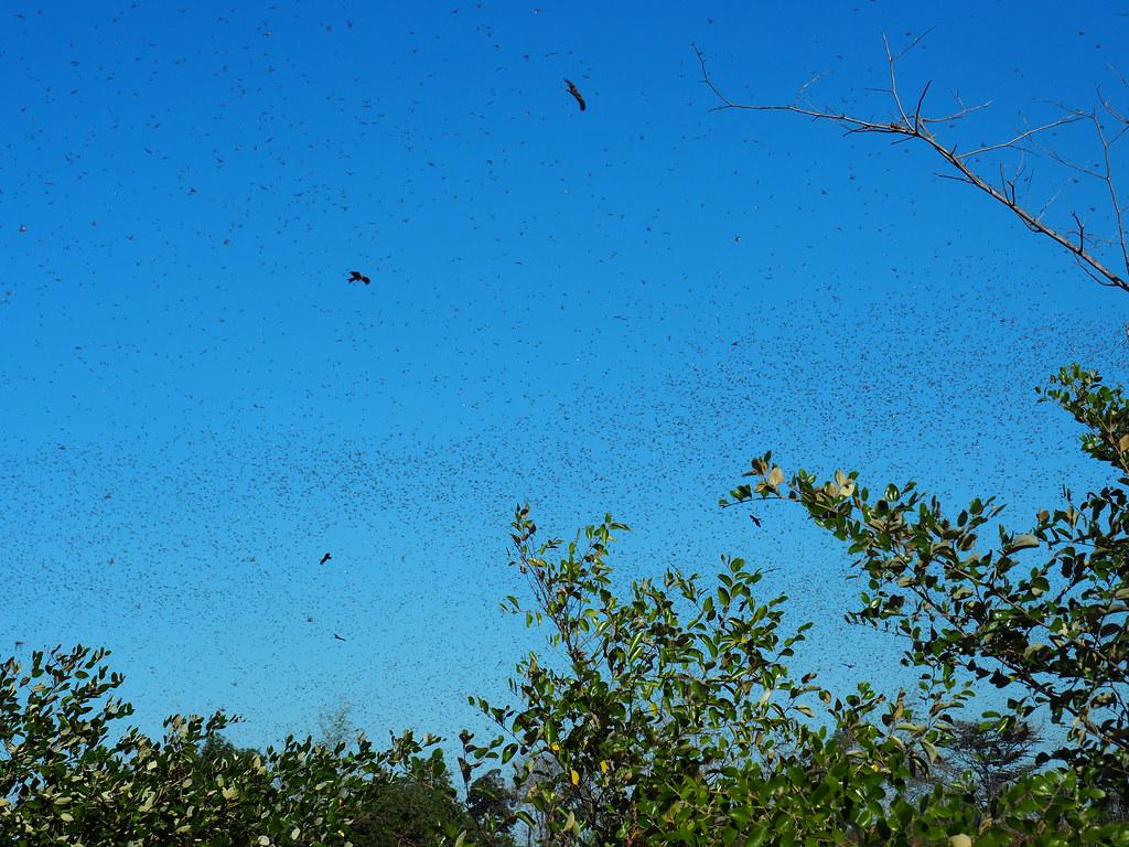 Plague locust - dark cloud of locusts across sky, trees visible, buzzards in sky