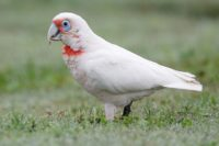 Long-billed Corella (Cacatua tenuirostris), Pinegrove Memorial Park, New South Wales, Australia