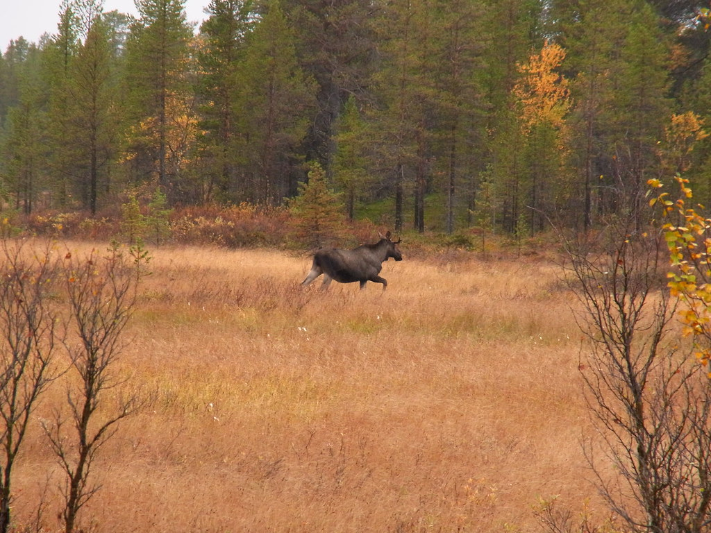 Moose running across a dry field.