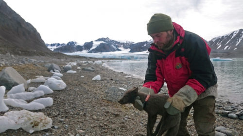 Placing tracking collar on arctic fox.
