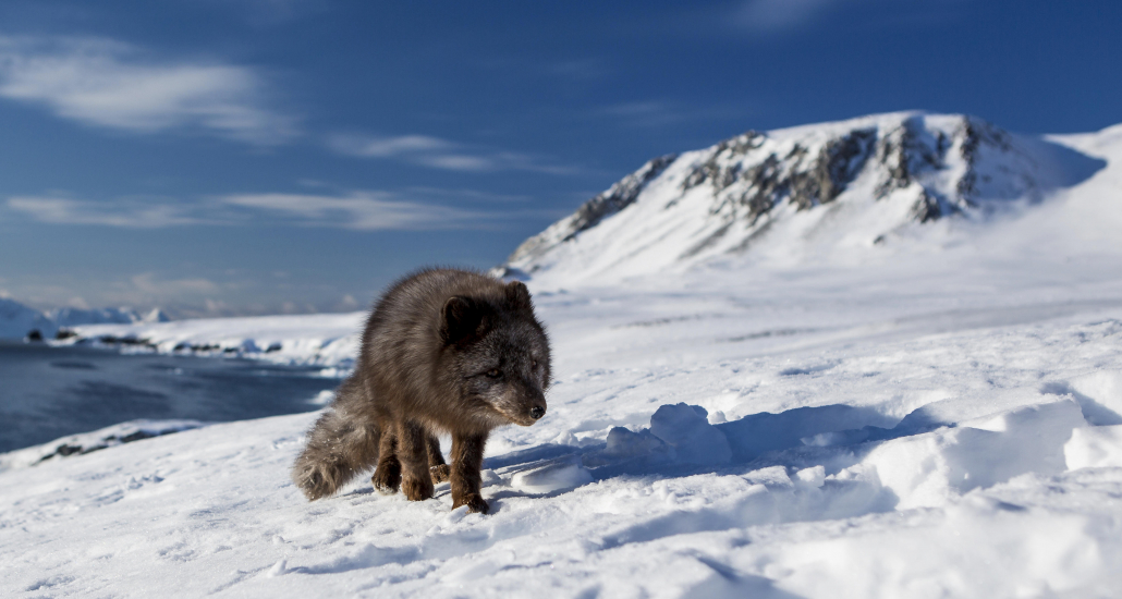 Arctic fox crosses the ice.