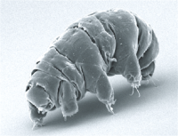 SEM image of Milnesium tardigradum in active state.