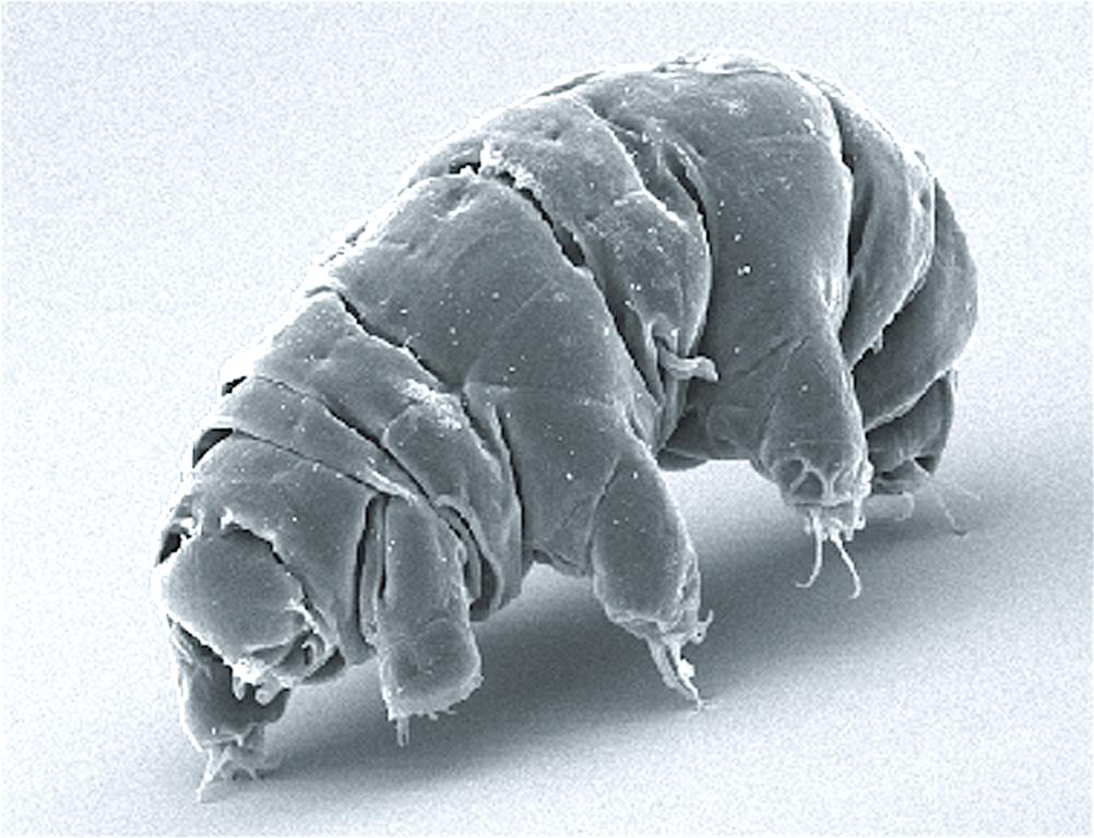 SEM image of Milnesium tardigradum in active state.