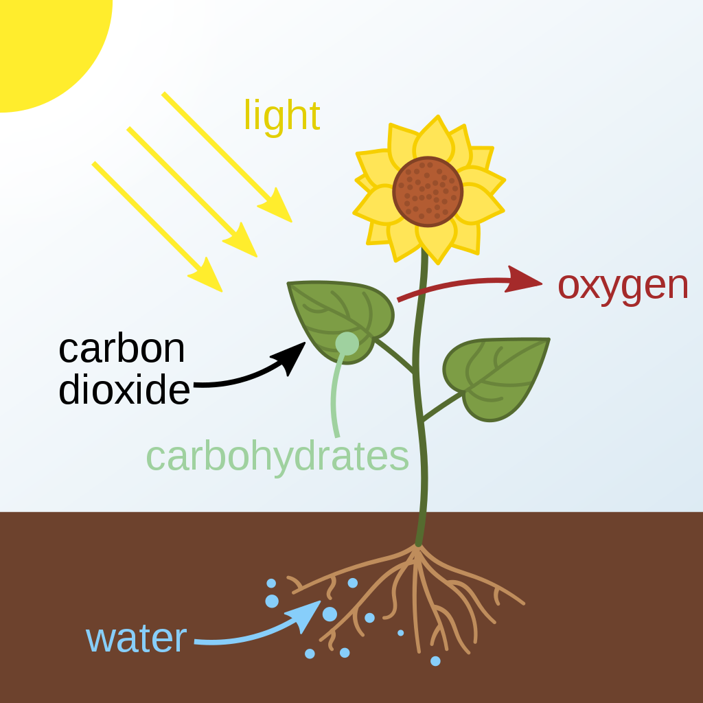 Diagram showing the overall process of photosynthesis