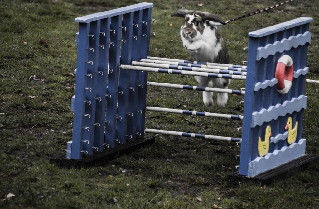 Rabbit show jumping