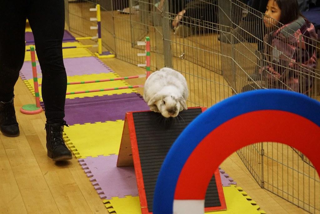Rabbit Fest 2018, Vancouver BC. Agility course.