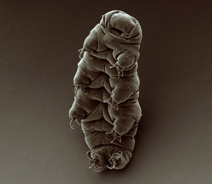 Scanning electron micrograph of an adult water bear (tardigrade), Hypsibius exemplaris. by Bob Goldstein & Vicky Madden, UNC Chapel Hill