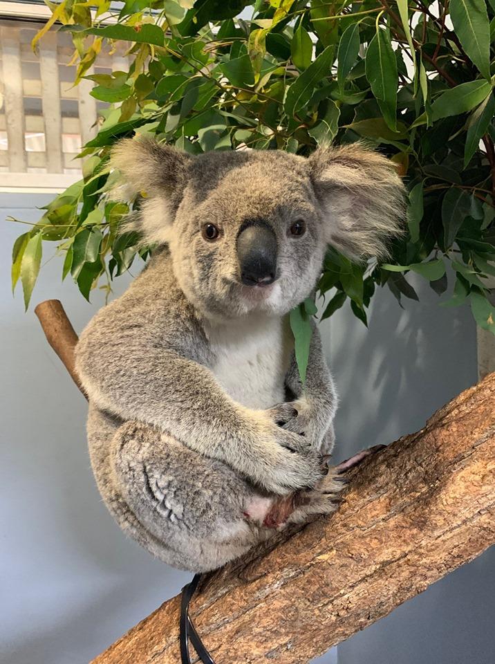 Wazza the koala at the Port Macquarie Koala Hospital.