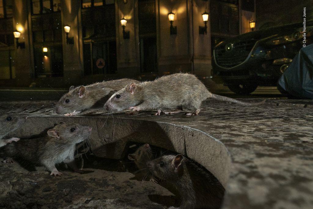 Rats on sidewalk. Pearl St, New York