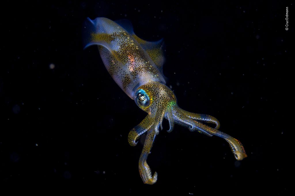 Bigfin reef squid glowing under water.